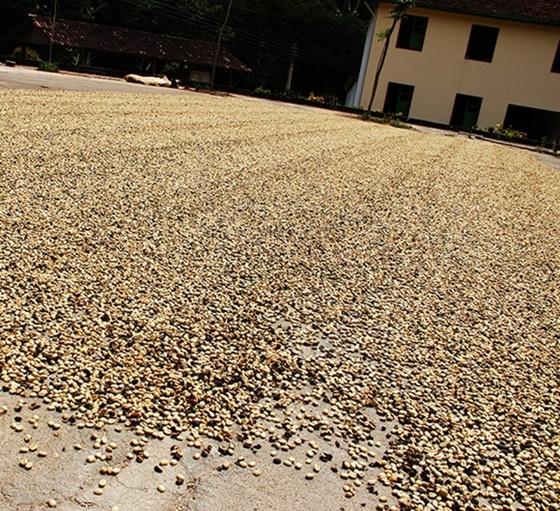 Café secando na Fazenda Carnielli