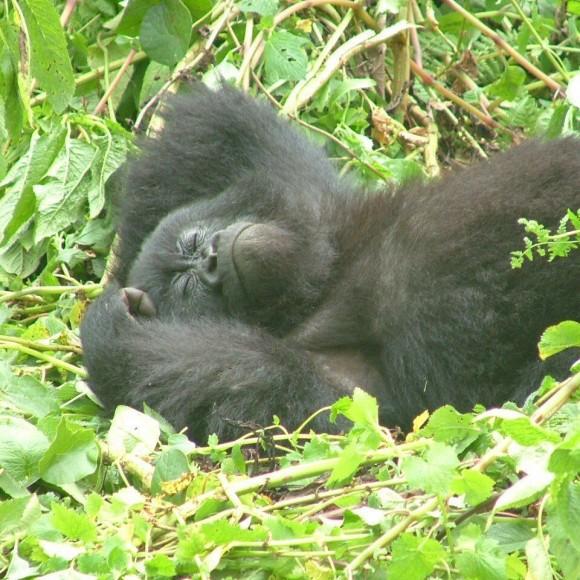 Gorilas de Ruanda Blog Vem Por Aqui