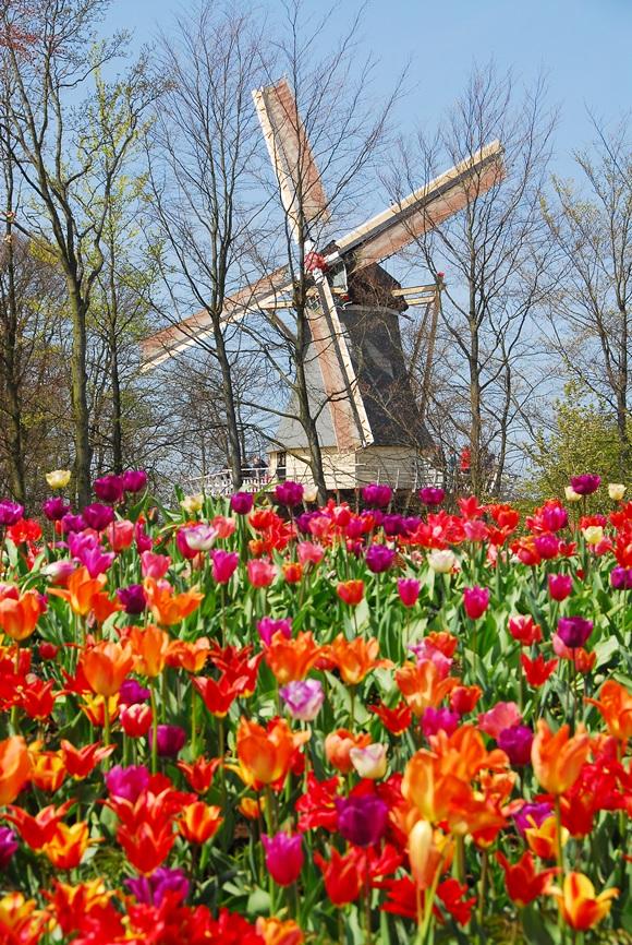 Moinho ao fundo com jardim de tulipas na frente Blog Vem Por Aqui