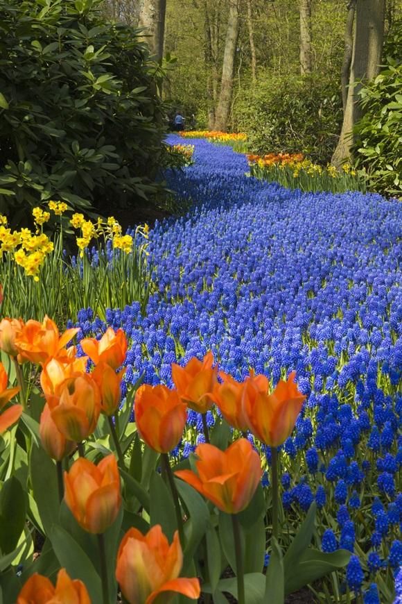 Tulipas laranjas e outras flores azuis do parque Keunkenhof Blog Vem Por Aqui