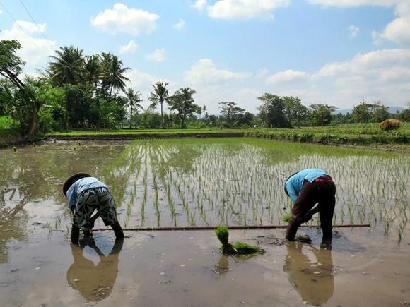 Dois plantadores de arroz, de costas, no meio do arrozal enlameado Blog Vem Por Aqui