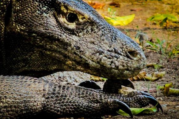 Dragão de Komodo visto de lado, em close com rosto sob a pata Blog Vem Por Aqui