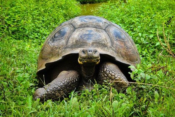 Tartaruga de Galápagos andando sobre a vegetação Blog Vem Por Aqui