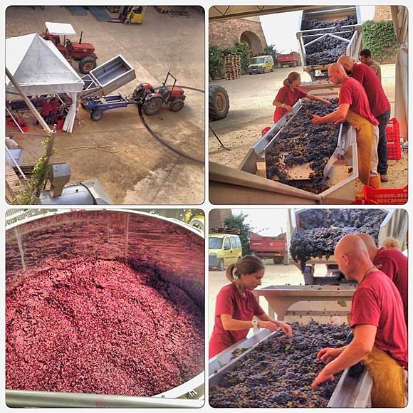 Mosaico com fotos da vindima, tenda em frente a um carrinho com mangueira, pessoas na esteira separando as uvas, tonel com uvas e foto mais próxima das pessoas na esteira Blog Vem Por Aqui