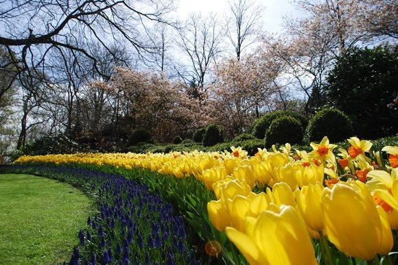 Tulipas amarelas no meio de um gramado verde com flores azuis abaixo